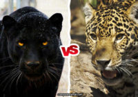 Panther vs Jaguar