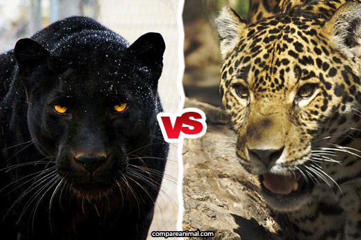 Black Panther vs. Jaguar Comparison