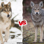 Compare Coyote vs. Gray Wolf
