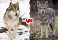 Coyote vs Gray Wolf Comparison