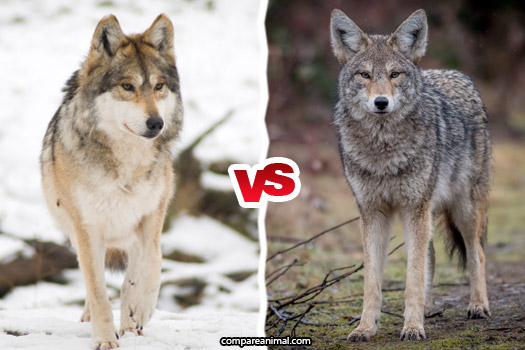 Coyote vs Gray Wolf Comparison