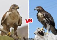 Hawk vs Falcon