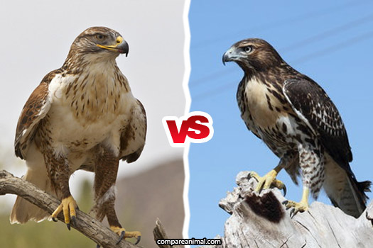 Falcon vs. Hawk Comparison